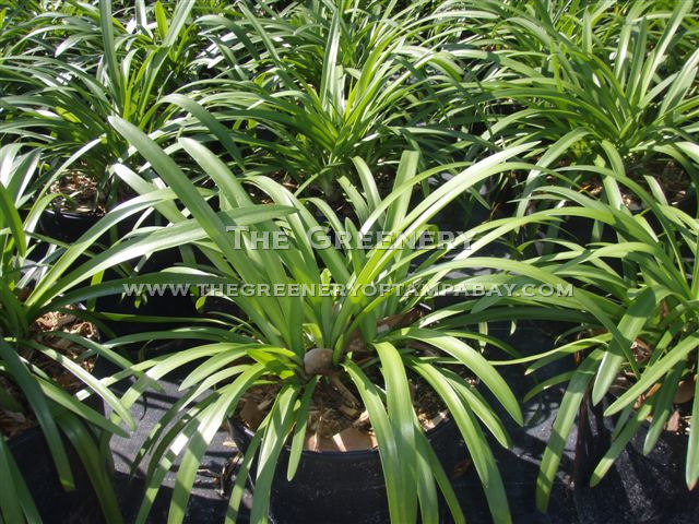 The greenery nursery and garden center for Grass like flowering plants