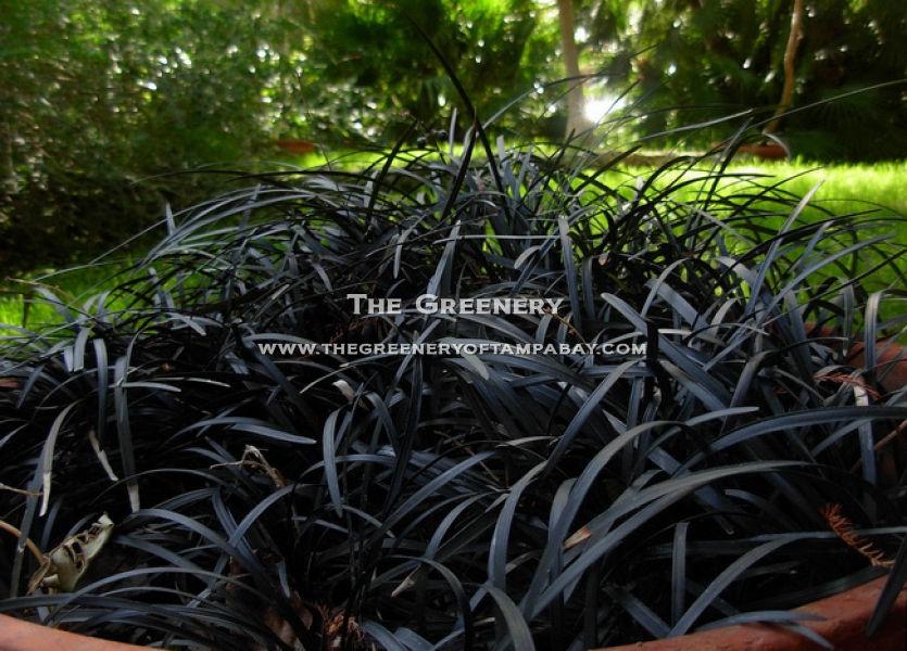 Black Ornamental Grass 100 Images Black Mondo Grass