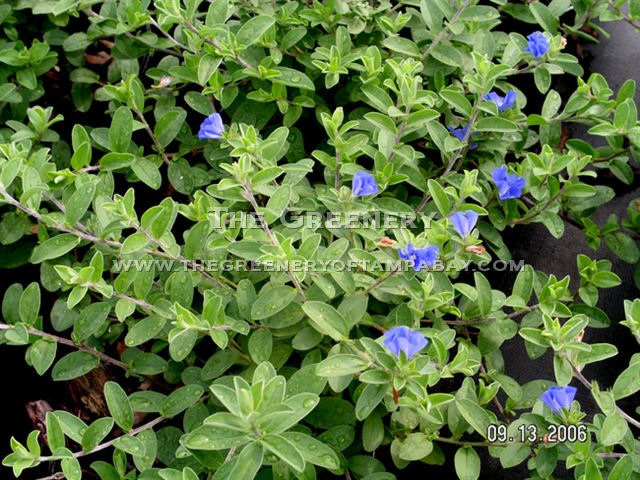 Ground Cover With Blue Flowers 19