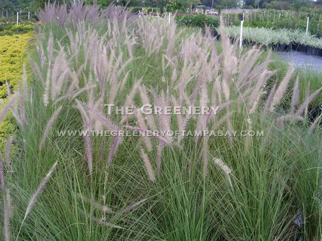 The greenery nursery and garden center for Small perennial ornamental grasses