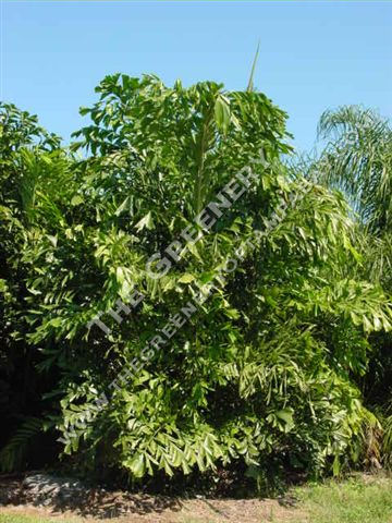 fishtail palm hedge - photo #24