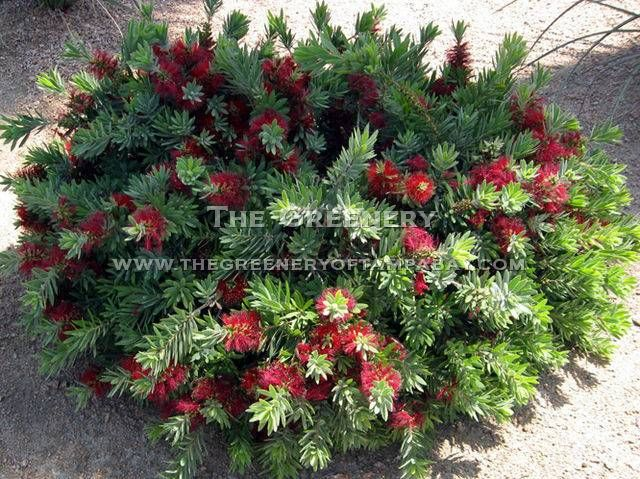 Dwarf evergreen shrubs for full sun 2017 2018 best for Landscape plants for full sun