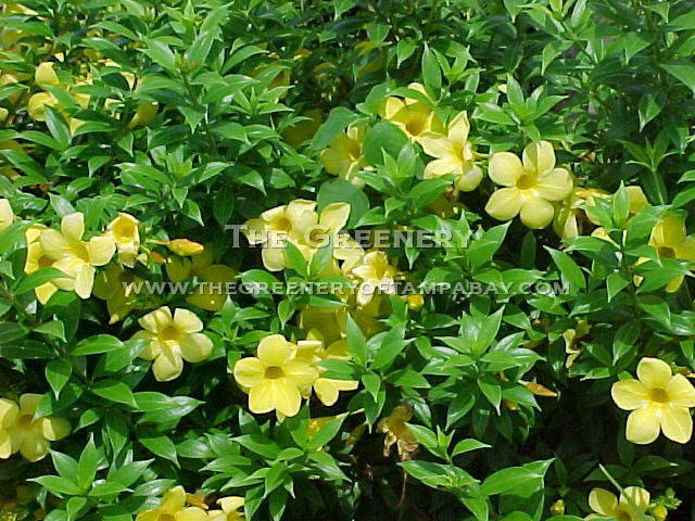 flowering shrubs for full sun  flower, Natural flower