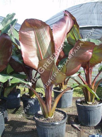 How To Grow Banana Trees Growing In Pots