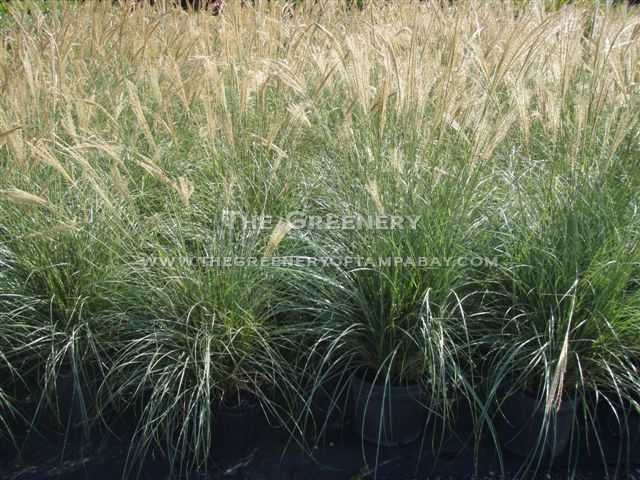 Ornamental Grasses Florida The greenery nursery and garden center adagio grass workwithnaturefo